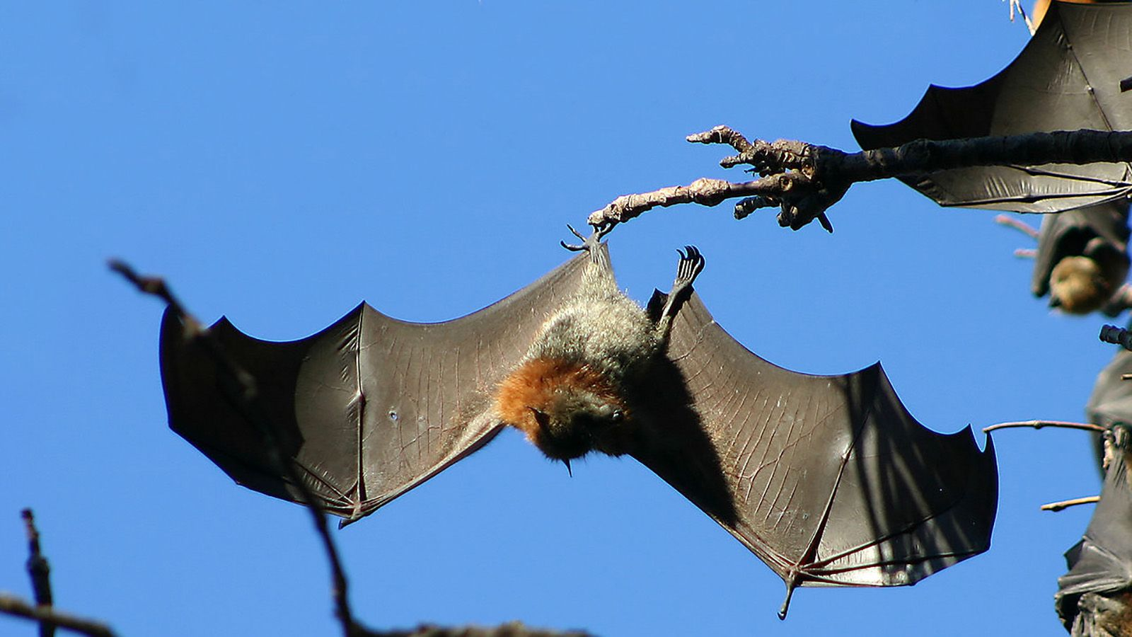 Flying fox with wings outstretched, hanging upside down from a tree banner image