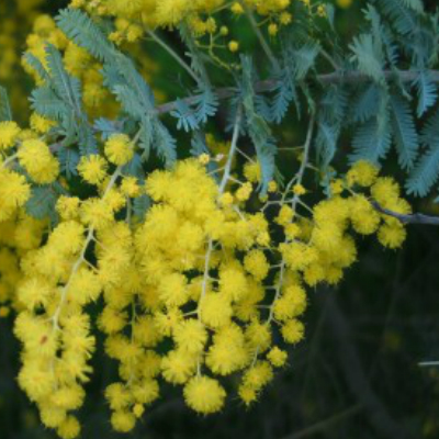 Close up image of Wattle with yellow flowers
