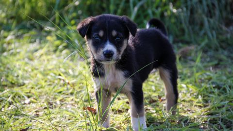 A puppy stands outside on grass.