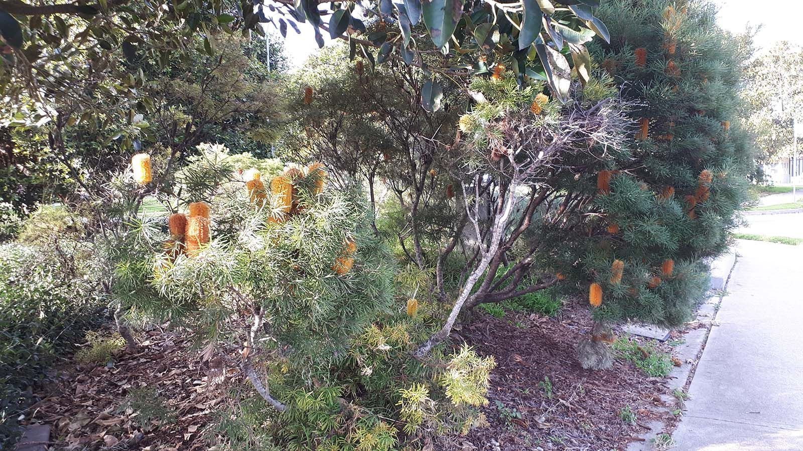 Native plants alongside a footpath in a residential area. banner image