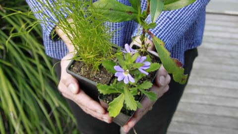 Branch with wattle leaves and flowers