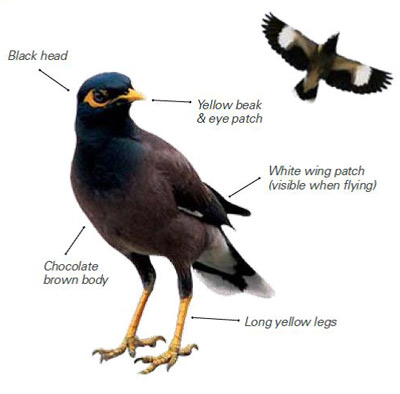 Diagram of an Indian Myna identifying distinguishing features and colours