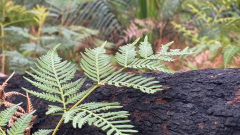 A green fern leaf grows on the backdrop of a blackened burnt log.